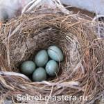 Гнездо дроздов с яйцами